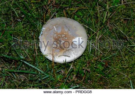 essbare und nicht essbare pilze am waldrand - Stock Photo