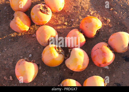 A lot of persimmons spoiled after a heavy frost at the end of January - Stock Photo