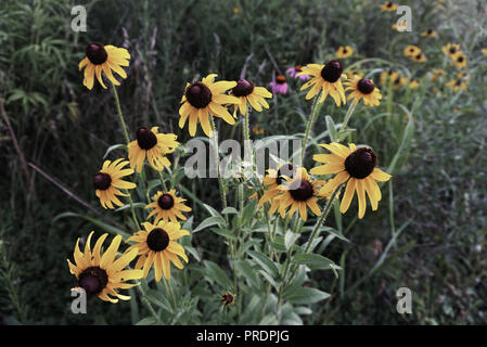 Camomiles in the Field on the Green Grass Background. Wild Flowers Daisy in Yellow muted tones. - Stock Photo