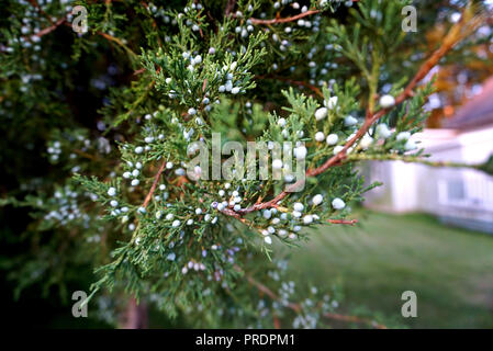 Branch of Spruce with a Small White Bumps. Branch of a Pine with Bumps in Focus Close-up. Young Cones on Fir Tree. White little Bumps on the Branches  - Stock Photo