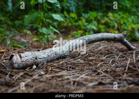 A dry twig lies on Natural spruce forest ground with some leaves and needles. A young tree grows behind a branch. The earth is covered with ivy. Spruc - Stock Photo