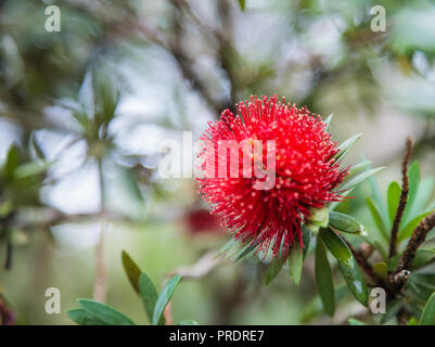 Mimosa Pudica (sensitive plant, sleepy plant, shameplant, shy plant, touch me not) is showing red blooming flower, known for its rapid plant movement  - Stock Photo