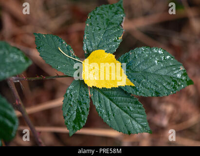 Paris, France. 02nd Oct, 2018. A yellow leaf of a birch tree lies in a forest on the wet, green leaf of a blackberry bush. Credit: Patrick Pleul/dpa-Zentralbild/dpa/Alamy Live News - Stock Photo