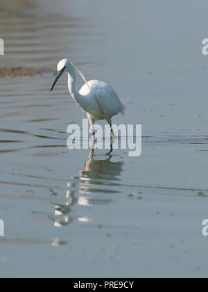 Little egret, medium-sized white bird, walks in the lake water. Horizontal image - Stock Photo