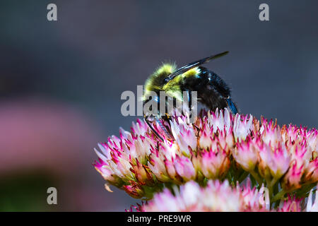 Black and Yellow Bumble Bee collecting Pollen on a flower.  Macro distance with high clarity on the insect. - Stock Photo