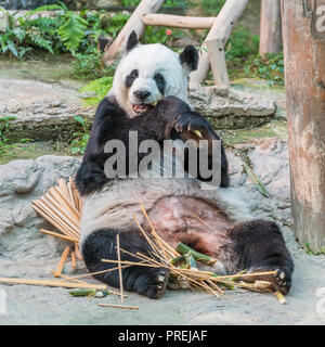 A female giant panda bear enjoy her breakfast of well selected young bamboo shoots and bamboo sticks with cute different eating gestures. - Stock Photo