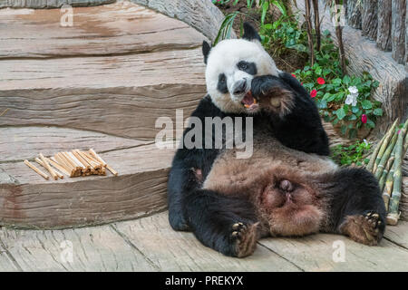 A male giant panda bear enjoy his breakfast of well selected young bamboo shoots and bamboo sticks with cute different eating gestures. - Stock Photo