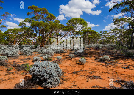 Gimlet gum and saltbush growing in the Great Western Woodlands which is the largest temperate woodland remaining on earth. Western Australia - Stock Photo