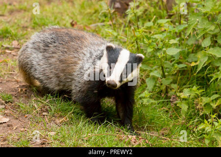 Wild european badgers (meles meles) feeding outside the den/set on a summer evening at the National Trust Dinefwr estate in West Wales UK - Stock Photo