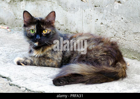 Homeless red black cat with eyes of different colors. Portrait of two-colored cat lying on outdoor. - Stock Photo