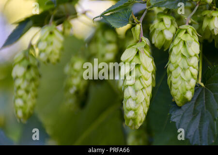 Green fresh hop cones on bush. Flowers for making beer and bread closeup, agricultural background. Empty place for copy space place for text. - Stock Photo