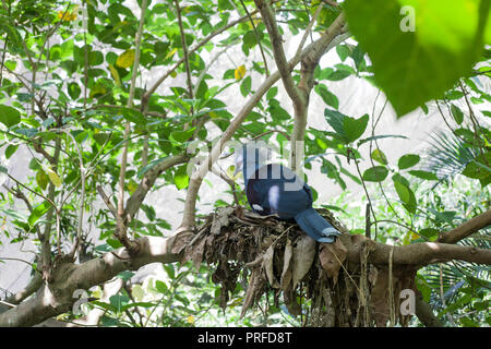 Western crowned pigeon (Goura cristata) blue bird sitting on green tree, nesting - Stock Photo