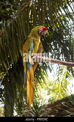 Military macaw (Ara militaris) green parrot sitting on green tree - Stock Photo
