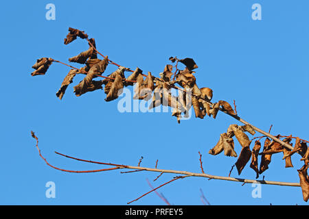 dead leaves on a dying elm tree Latin ulmus or frondibus ulmi suffering from Dutch elm disease also called grafiosi del olmo in Italy - Stock Photo