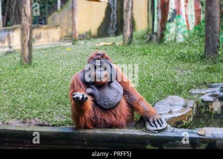 Funny large brown Sumatran Orangutan smiling. Pongo abelii monkey give hand and begging food - Stock Photo
