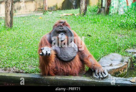 Funny large brown Sumatran Orangutan sitting on grass. Pongo abelii monkey give hand and begging food - Stock Photo
