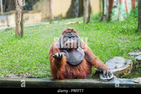 Funny large brown Sumatran Orangutan displeased. Pongo abelii monkey give hand and begging food - Stock Photo
