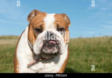 White and Red English Bulldog Dog-Canis lupus familiaris. Uk - Stock Photo