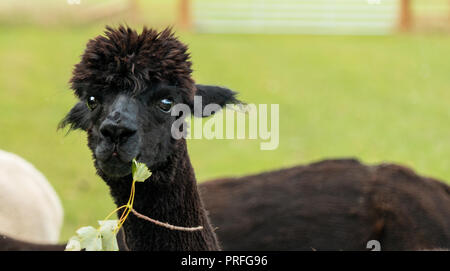 Close up of brown alpaca - Stock Photo