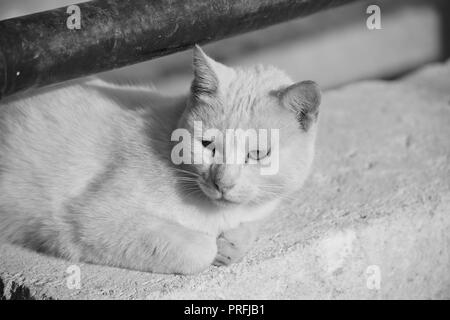 A white cat, resting on a low wall under a rusty metal railing in Gozo, Malta. Feral cat, adapted to living outside. Photo in black and white. - Stock Photo