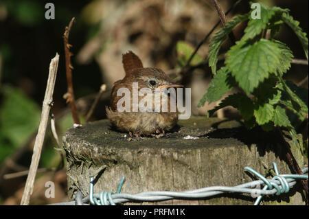 A pretty Wren (Troglodytes troglodytes)  resting on a fence post at the edge of woodland. - Stock Photo
