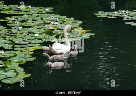 Mother swan with her young cygnets swimming on a lake with water lilies on an overcast day. - Stock Photo