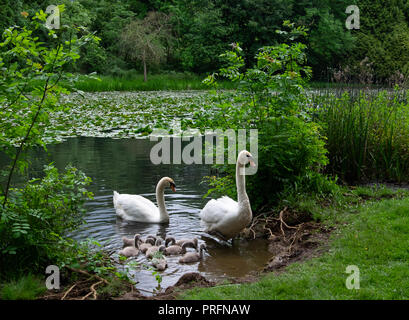 Mother and Father swans with their young cygnets at the edge of a lake with water lilies on an overcast day. - Stock Photo