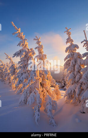 Coniferous forest in winter. Beautiful morning light. Christmas view - Stock Photo