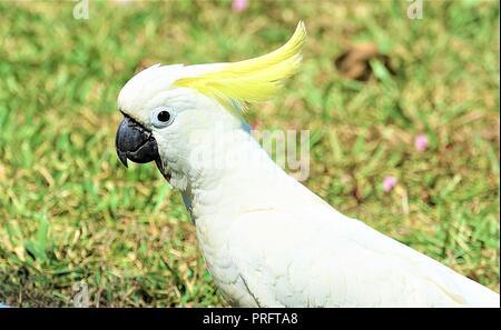 Sulphur-Crested Cockatoo, Cacatua galerita, Port Douglas, Far North Queensland, Australia - Stock Photo