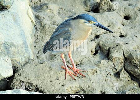 Striated Heron, Butorides striatus, Dickson Inlet near Port Douglas, Queensland, Australia - Stock Photo