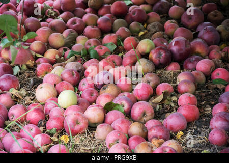 Windfall of red and yellow, some rotten apples lying on the ground in an orchard - Stock Photo