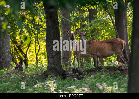 Herd of red deer (Cervus elaphus) females / hinds in forest in autumn / fall - Stock Photo