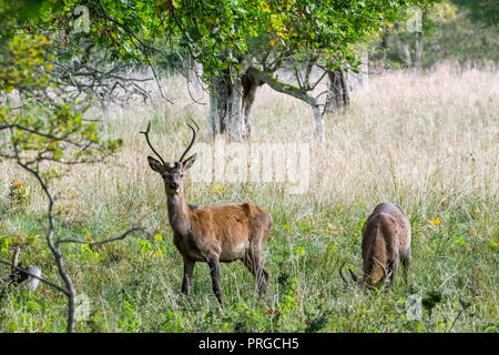 Two year old red deer (Cervus elaphus) stag / male with small antlers during the rut in autumn / fall - Stock Photo