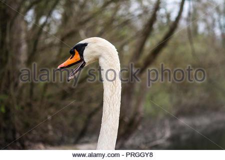 A Mute Swan in the wetlands of Wintersdorf near Rastatt in Southern Germany. - Stock Photo