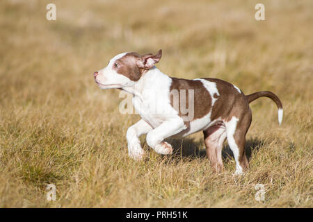 Red/ white American Pit Bull Terrier puppy running on a meadow - Stock Photo