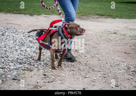 Red American Pit Bull Terrier dog in a weight pull harness on a dog show - Stock Photo