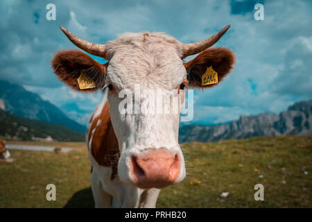 Cow in the Dolomites - Stock Photo