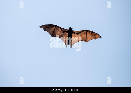 Clear shot of a single flying fox - Stock Photo