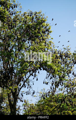 Many flying foxes handing in a tree, in the botanical garden of Kandy, Sri Lanka - Stock Photo