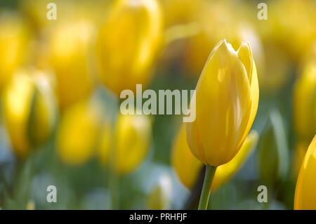 Single yellow Tulip in a field of yellow Tulips. - Stock Photo
