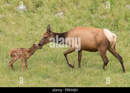 Newborn elk calf with its mother in Yellowstone National Park. - Stock Photo