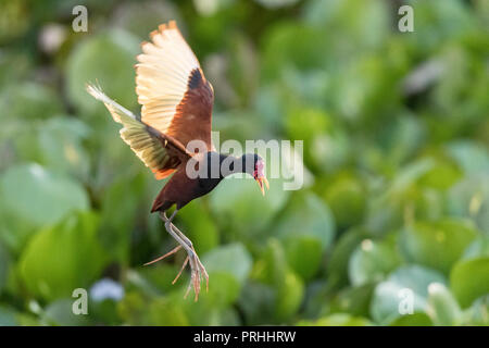 Adult wattled jacana, Jacana jacana, in flight, Pouso Alegre Fazenda, Mato Grosso, Brazil. - Stock Photo