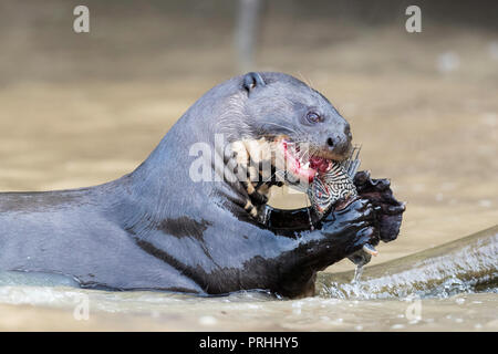 Giant river otter eating a fish, Pteronura brasiliensis, feeding near Puerto Jofre, Mato Grosso, Pantanal, Brazil. - Stock Photo
