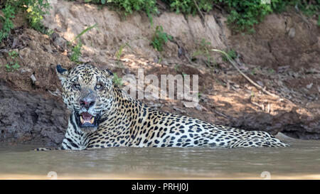An adult male jaguar (Panthera onca) with battle wounds, resting in the Rio Tres Irmao, Mato Grosso, Brazil. - Stock Photo