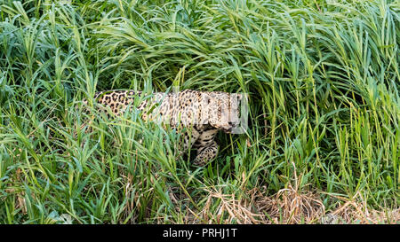 An adult male jaguar, Panthera onca, emerging from the tall grass along the  Rio Cuiabá, Mato Grosso, Brazil. - Stock Photo