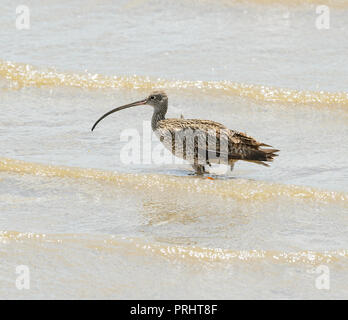 Eastern Curlew (Numenius madagascariensis) wading, Cairns, Far North Queensland, FNQ, QLD, Australia - Stock Photo