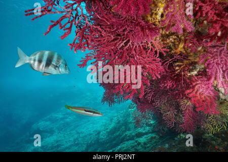 Red gorgonian soft coral, Paramuricea clavata, with fish underwater in the Mediterranean sea, Cap de Creus, Costa Brava, Spain - Stock Photo