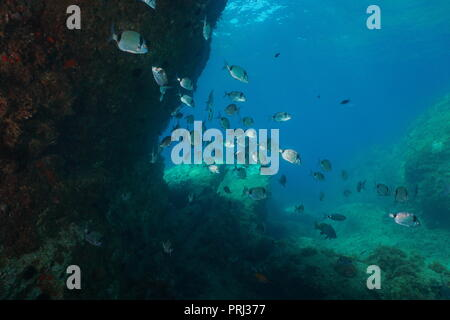 A shoal of common two-banded sea bream fish Diplodus vulgaris, underwater in the Mediterranean sea - Stock Photo