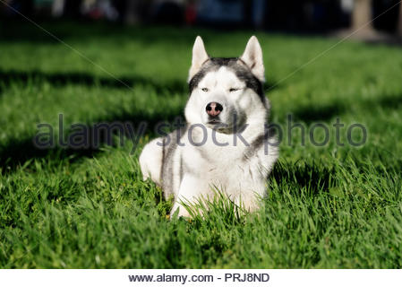 A sober, mature Siberian husky male dog is lying down on green grass. A dog has grey and white fur and blue eyes. He appears a bit angry. - Stock Photo