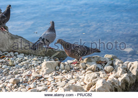 Pigeons on the Danube shore in Ulm Southern Germany. - Stock Photo